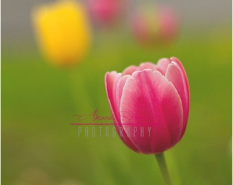 Fine Art Photography - 16x24 Canvas Gallery Wrap - Pink  Tulip