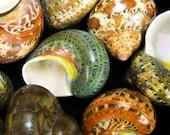 "Multipack 2""-2.5"" Tapestry Turbo Shell polished pearlized seashell ocean beach nautical Hawaii coastal decor hermit crab shells"