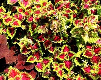 Heirloom 100 Seeds Coleus hybridus Rainbow Improved Painted Nettle Flower Bulk Seeds S037