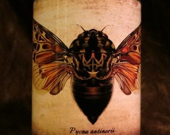 Insect Candle holder/ luminary Pycna antinorii