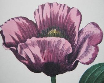 Vintage Garden Flower Opium Poppy print purple 1970s