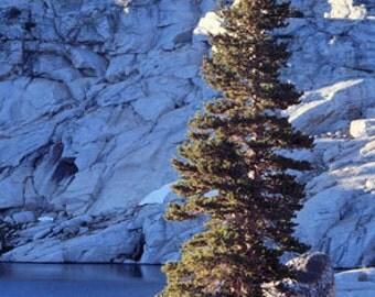 50 Sierra Nevada Lodgepole Pine Tree Seeds, Pinus contorta, murrayana