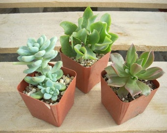 6 Succulent Plants Chunky Collection 3 Inch Pots
