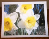 White, Yellow Daffodil Photo Note Cards, set of 6, with envelopes, in a clear plastic box, photo available in any size