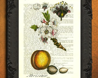 apricot fruit illustration, apricot blossom print for dining room or kitchen decor, botanical print vintage