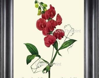 BOTANICAL PRINT Redoute Flower  Botanical Art Print 10 Beautiful Sweet Pea Red Flowers Plant Christmas Garden Nature