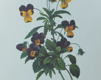 Vintage Botanical  VIOLA TRICOLOR Print 8.5  x 11 / Ready to Frame Print / Vintage Chic Wall Decor