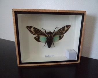 Wall Display Taxidermy Real Cicada Moth Asian Moth Boxed Insect Display Entomology Lepidoptera