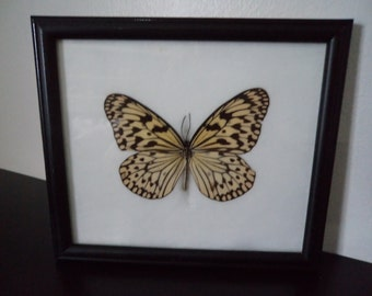 Real Tree Nymth Butterfly Framed Display Taxidermy Idea Leuconoe Lepidopterology