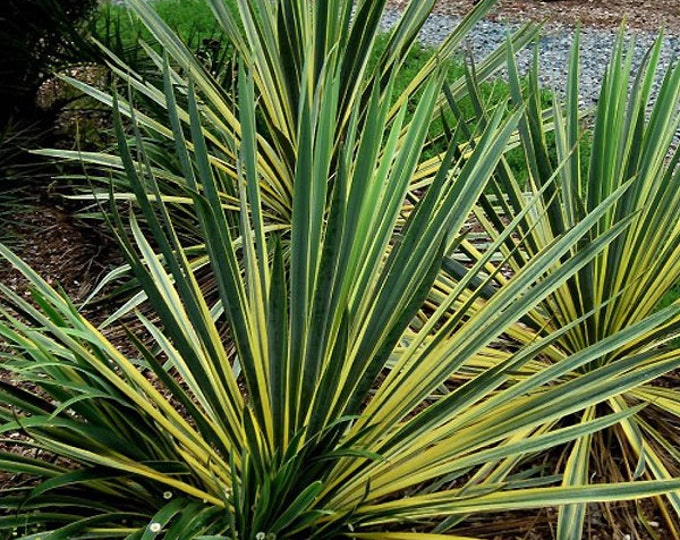 Yucca Bright Edge Plant Hardy Perennial Plant 4 Inch Pot Grown Organic