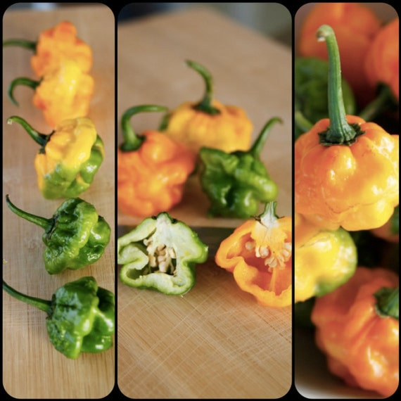how to grow scotch bonnet peppers