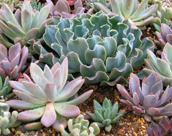 15 Succulent Rosette UPGRADE Designer Mixt for projects and gardens