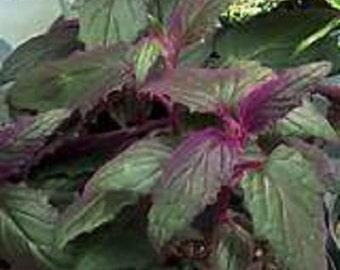 Velvet Purple Passion Gynura Vine Starter Plant