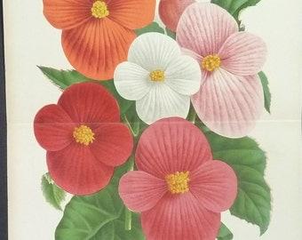 1887 Large Vintage BOTANICAL BEGONIA Art  Print Linden Vintage Flower Home Decor  Antique Botanical Print