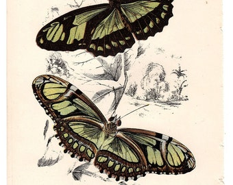 1896 Antique Butterfly Print  Natural History Chromolithograph Methamorpha Dido Butterfly Art