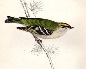 1863 Antique Bird Print Goldcrest Morris Birds Vintage Bird Print