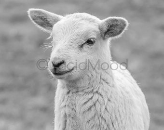 Black & White Lamb Fine Art Print- Farm Animal Photography, Sheep Art Square 4x4 8x8, 10x10, 12x12, 14x14, 20x20 (no. 8388)