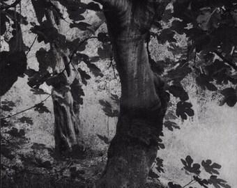 The fig tree. WB. Fine art print. Square