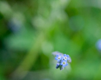 Spring. with blue flower lying on a carpet of grass. photography, photo print