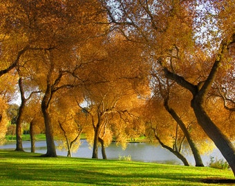 Golden Trees Israel photography Yellow Gold trees Landscape photograph