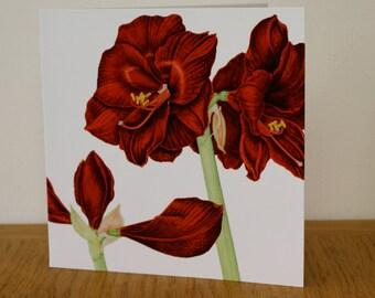 Amaryllis 'Black Pearl' art card - blank inside