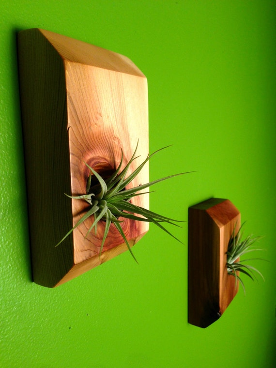Reclaimed Wood Wall Mounted Air Plant By Justinhedgesdesigns