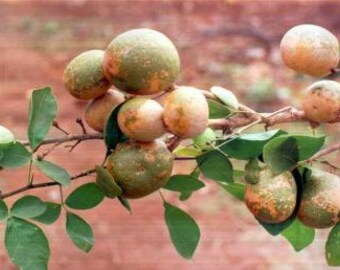 25 Seeds AEGLE marmelos, Bael Fruit Seeds , Wood Apple Seeds