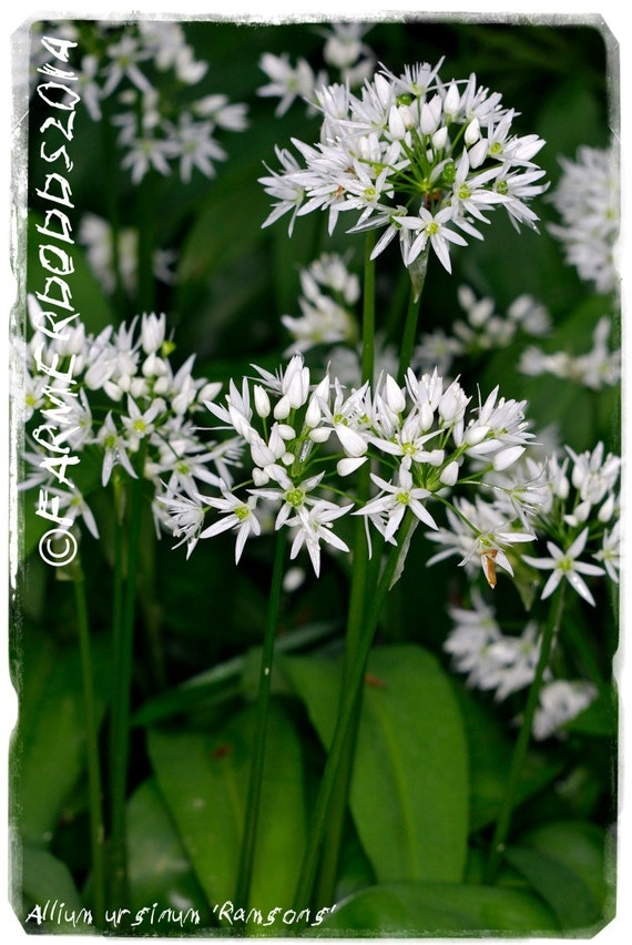 allium ursinum 39 ramsons 39 ex co durham 100 seeds by. Black Bedroom Furniture Sets. Home Design Ideas