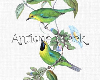 Green Birds Digital Download - Jerdon's Leafbird - Vintage Bird Drawing 1850-1883 - Card Making, Scrapbook, Invites, Collages, Crafts...
