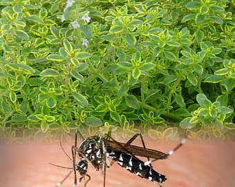 """Mosquito Repelling Creeping Lemon Thyme Plant - 3"""" Pot"""