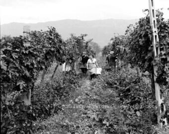 Vineyard Harvest IV