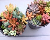 This listing is for two large succulent container gardens. These would be a great addition to any collection.