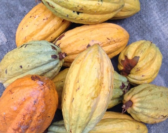 Organic Cacao Seeds - Chocolate Tree Theobroma Cacao Fresh Beans - Grow your Own Chocolate Plant Tree
