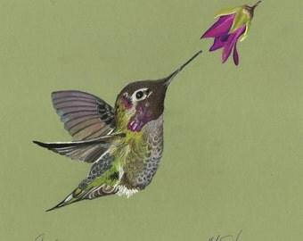 Print of an original pastel drawing of a hummingbird Calypte anna