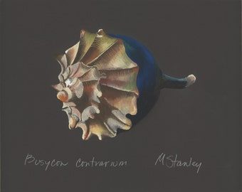 Print of an original pastel drawing of a seashell Busycon contraium