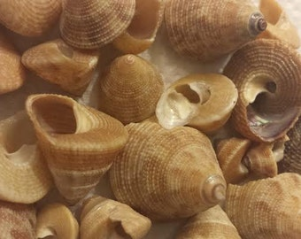 Top shells (30 count)- varying shades of brown
