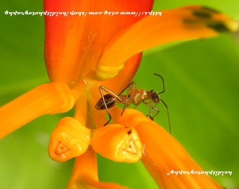 Ant 2  **Art**Paradise**Unedited**Wall Art* *Office Art**Photography**Print**  **Decor**Design**Photographic Art** *Ant*Nature*Tropical*
