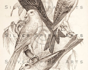 Vintage Canaries Printable Bird Illustration 1800s Antique Canary Print Digital Image Clip Art Retro Birds Drawing Instant Download Graphic