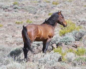 The Bachelor, Wild Horse. Wild Mustangs.  Stallion. Brown horse