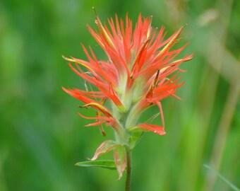 Flower Indian Paint Brush Wild Flower Sierra Wildflower