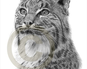 Bobcat pencil drawing print - A4 size - artwork signed by artist Gary Tymon - Ltd Ed 50 prints only - pencil portrait