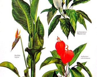 Bird of Paradise, Mauna Loa, Anthurium - Botanical Print - 8 x 11 -1975 Vintage Book Page