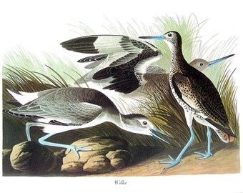 Willet 1979 Vintage Audubon Bird Print Book Plate
