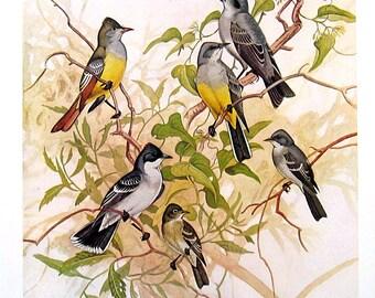 Bird Print - Crested Flycatcher, Eastern Kingbird, Gray Kingbird, Eastern Wood Pewee - 1954 Book Page - Birds from Florida - 10 x 7
