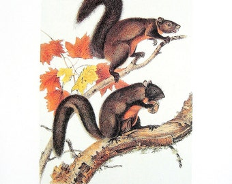 Long Haired Squirrel - Audubon Animal Print -  1989 Vintage Book Page for Framing  - Naturalist Illustration