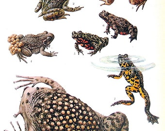 Frog, Toad Print - Tailed Frog, Midwife Toad, Hochstetter's Frog, Anatomy  - 1973 Vintage Print - 2 Sided Page from Encyclopedia