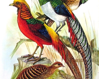 Bird Print - Golden Pheasants, Lady Amherst's Pheasant - 1973 Vintage Encyclopedia Book Page - 10 x 7