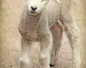 lamb portrait animal photography nursery decor home decor, Fine Art Photograph Easter Spring