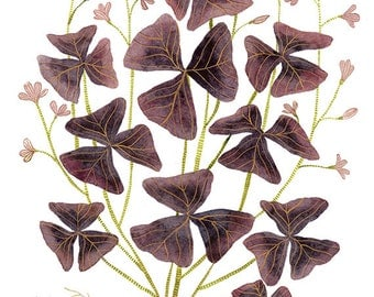 Oxalis original watercolor painting
