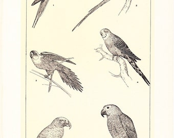 1903 Bird Print - Parrots and Parrakeets - Vintage Antique Home Decor Book Plate Art Illustration for Framing 100 Years Old